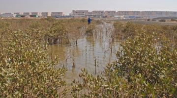 mangrove KAUST Saudi Arabia
