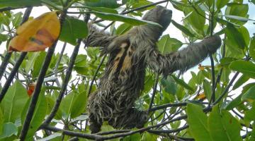 mangrove, sloth, Panama