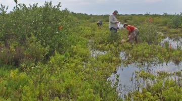 mangrove, Merritt Island, Florida