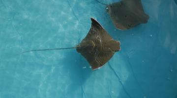 Tracking Cownose Ray migrations in Chesapeake Bay.