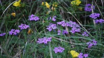 Kansas wildflower community