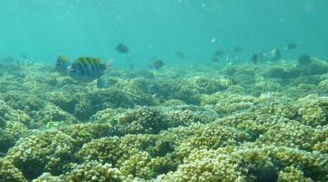 sergeant major fish over Pocollopora reef, Pacific Panama