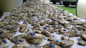 Oysters with freshly painted label for experiments