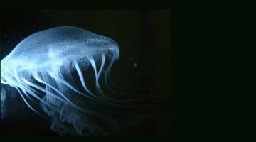 Atlantic sea nettle
