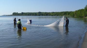 Seining for fish samples