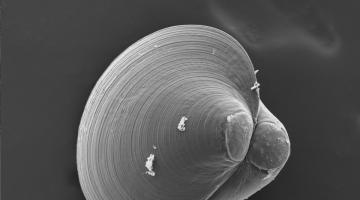 Electron micrograph of larval Crassostrea virginica oyster
