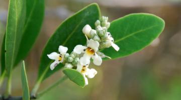 Avicennia (black mangrove)