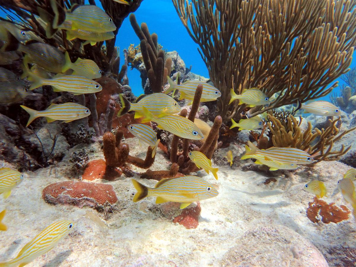 yellow fish swimming around coral reef